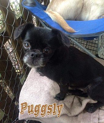 Gulfport Ms Pug Meet Sweetie A Pet For Adoption