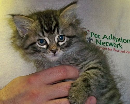 Rochester, NY - Maine Coon  Meet Natalie a Pet for Adoption