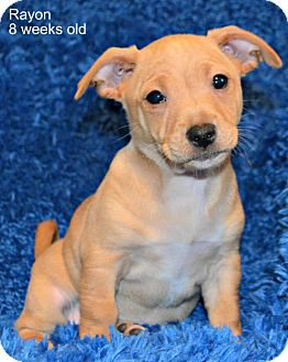 Chihuahua/Rottweiler Mix Dog for adoption in Yreka, California - Rayon