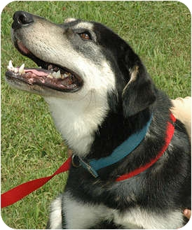 Husky/German Shepherd Dog Mix Dog for adoption in Ripley, Tennessee - Jake  (0752)