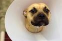 Adopt a Pet :: BRANDY - Tucson, AZ -  Mastiff Mix