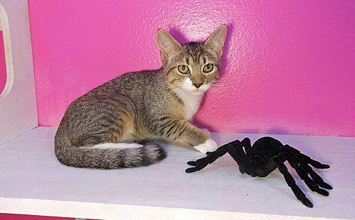 Phoenix Adoption Cat