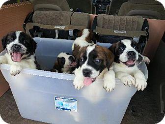 Pittsburgh Pa St Bernard Meet Saint Puppies A Pet For Adoption