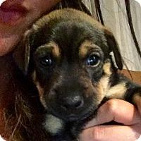 Adopt A Pet :: Teddy - Long Beach, CA