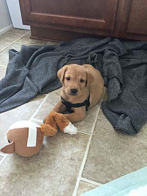 Goldsboro Nc Golden Retriever Meet Litter Of 11 Puppies 9