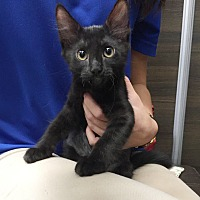 Bombay Kitten for adoption in New Braunfels, Texas - Vera Wang