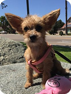 Poodle (Miniature)/Terrier (Unknown Type, Small) Mix Puppy for adoption in Santee, California - Peanut
