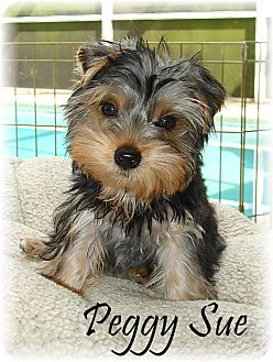 Palm city fl yorkie yorkshire terrier meet peggy sue a dog for adopted thecheapjerseys Image collections