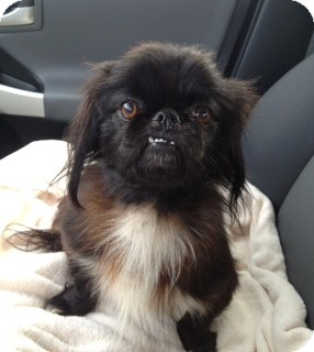 Nashville Tn Shih Tzu Meet Buddy A Pet For Adoption