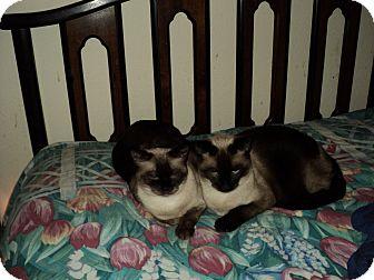 Siamese Cat for adoption in Tavares, Florida - Tebo