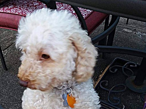 Mentor Oh Cockapoo Meet Monte 6yr Adopted A Pet For Adoption