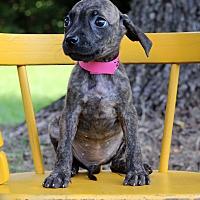 Adopt A Pet :: Ivy - Waldorf, MD
