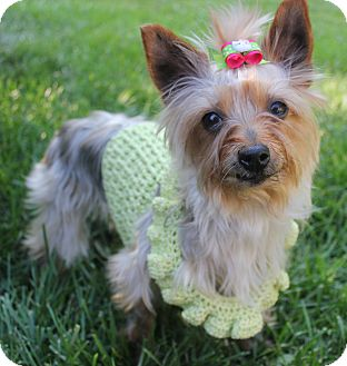 Fort Mitchell, KY - Yorkie, Yorkshire Terrier  Meet Dixie a