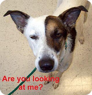 Greyhound/Terrier (Unknown Type, Medium) Mix Dog for adoption in Guthrie, Oklahoma - Tyron