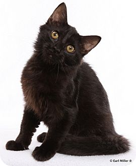 Domestic Longhair Kitten for adoption in Las Vegas, Nevada - Mozart