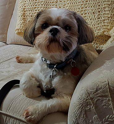 Mississauga On Shih Tzu Meet Leroy A Pet For Adoption