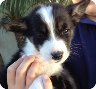 Border Collie Mix Puppy for adoption in Long Beach, California - Hazel
