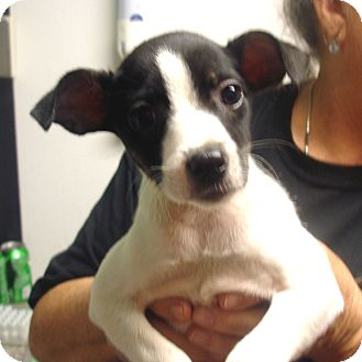 Manassas Va Jack Russell Terrier Meet Miracle A Pet For Adoption