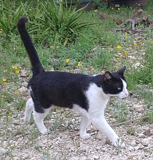 Adopt A Pet :: Joey  - Fischer, TX