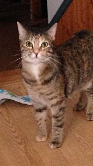 Domestic Shorthair Cat for adoption in Carlisle, Pennsylvania - Morgan