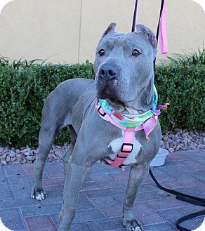 Las Vegas Nv Cane Corso Meet Violet Courtesy Listing A Pet For