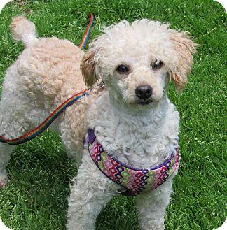 Miniature Poodle Dog for adoption in Tionesta, Pennsylvania - Samantha