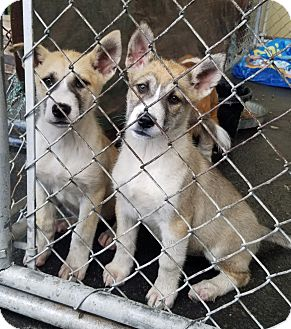Husky Mix Puppy for adoption in Gustine, California - KODA AND KONA (MASKED)