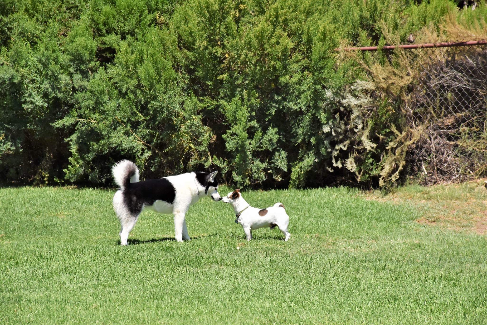 Husky puppies for sale yucca valley - Husky Puppies For Sale Yucca Valley 49