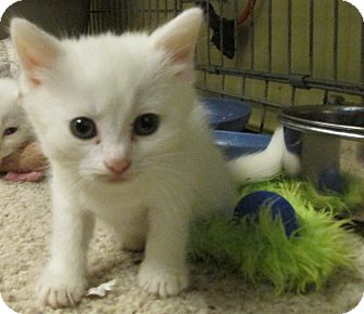 Acme Pa Domestic Shorthair Meet White Kittens A Pet For Adoption