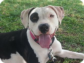 American Staffordshire Terrier/American Staffordshire Terrier Mix Dog for adoption in Las Cruces, New Mexico - Petra