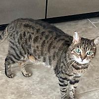 Bengal Kittens For Sale In Orlando Florida Adoptapet Com