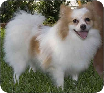 Houston Tx Pomeranian Meet Princess Fluffy A Pet For Adoption