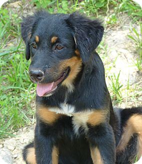 Glastonbury Ct German Shepherd Dog Meet Faye A Pet For Adoption
