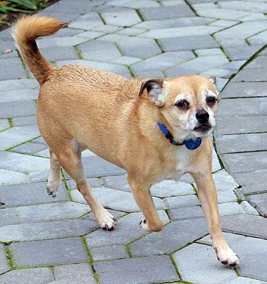 antioch ca chihuahua meet max a pet for adoption