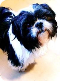 Shih Tzu Dog for adoption in Jackson, Michigan - Joey