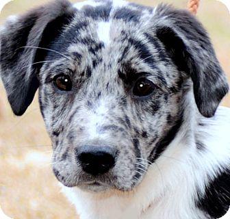 Wakefield Ri Catahoula Leopard Dog Meet Pebblesbeautiful Puppy