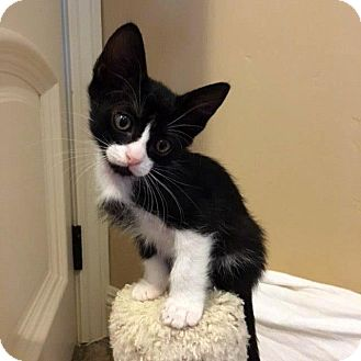 Domestic Shorthair Kitten for adoption in Las Vegas, Nevada - Jeremy