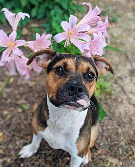 Adopt A Pet :: Isabella  - Oklahoma City, OK