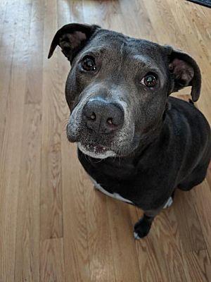 Binghamton, NY - Pit Bull Terrier  Meet Selene a Pet for Adoption