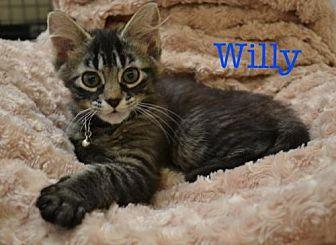 Domestic Longhair Kitten for adoption in Atlanta, Georgia - Willy     171174