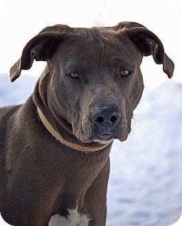 Weimaraner/Rhodesian Ridgeback Mix Dog for adoption in Mora, Minnesota - Lincoln
