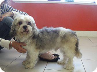 Philadelphia Pa Shih Tzu Meet Amigo A Pet For Adoption