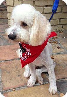 Austin, TX - Poodle (Miniature)  Meet Samson a Pet for Adoption