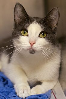 Adopt A Pet :: Zipper  - Troy, MI