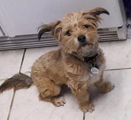 antioch ca shih tzu meet main street manny a pet for adoption