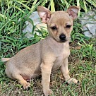 Adopt A Pet :: PUPPY REEVES