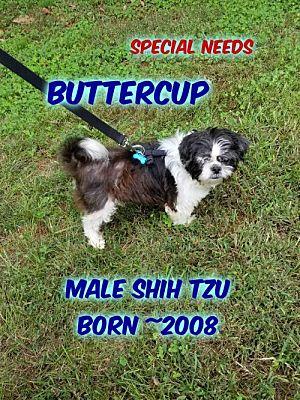 Huddleston Va Shih Tzu Meet Buttercup A Dog For Adoption