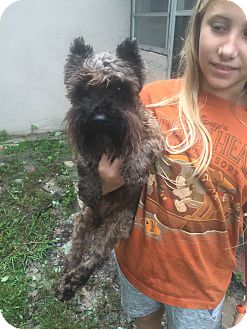 Schnauzer (Miniature) Mix Dog for adoption in Palm Harbor, Florida - Lulu