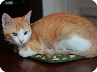 Domestic Shorthair Cat for adoption in Houston, Texas - Harry