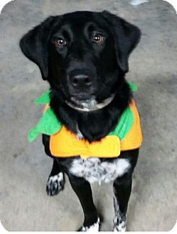 English Pointer Mix Dog for adoption in Maryville, Tennessee - Shasta